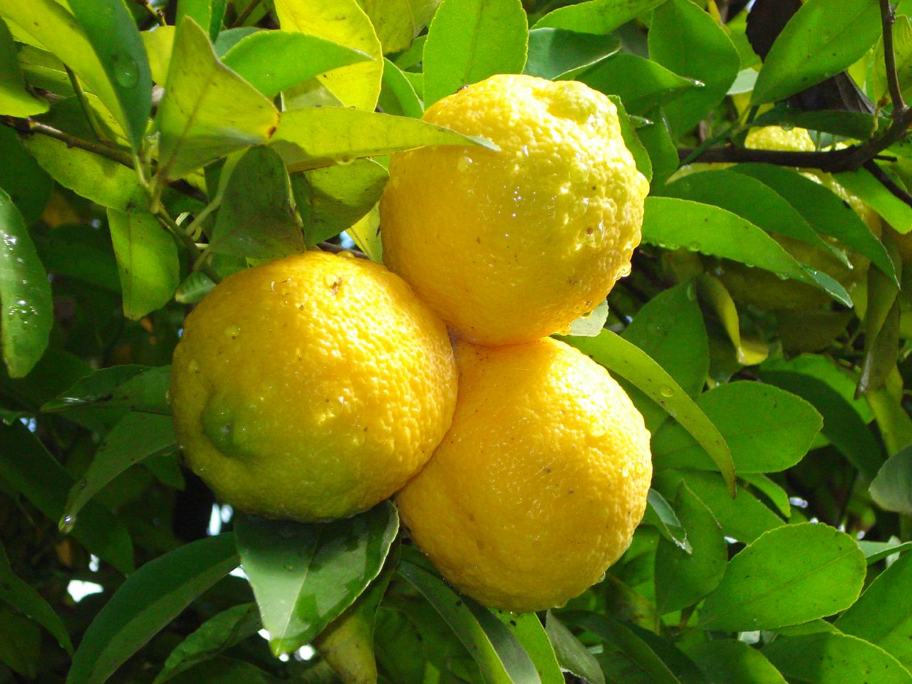 Tutto il gusto del limone di Sorrento